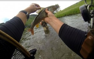 nice grayling vah river fly fishing