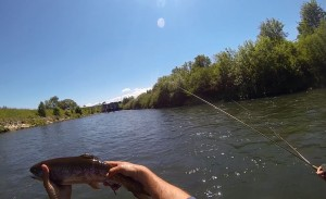 fly fishing rainbow trout vah river